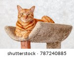 red cat on his perch looking at ... | Shutterstock . vector #787240885