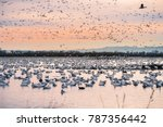 a flock of snow geese wintering ... | Shutterstock . vector #787356442