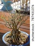 Small photo of leafless Adenium tree