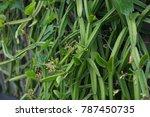 cissus quadrangularis l herbal... | Shutterstock . vector #787450735