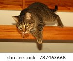 Stock photo tiger cat jumping 787463668