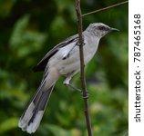 white bird mockingbird on branch   Shutterstock . vector #787465168