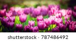 tulip background. purple flower ... | Shutterstock . vector #787486492