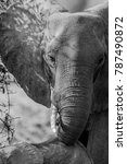 Small photo of African bush elephant in black and white, South Luangwa, Zambia