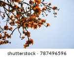 branch of blossoming bombax... | Shutterstock . vector #787496596