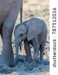 Small photo of African bush elephant mother and calf, South Luangwa, Zambia