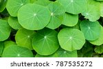 round green leaves  round shape ... | Shutterstock . vector #787535272