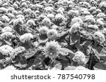 big smile sunflower are style... | Shutterstock . vector #787540798