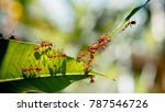 red ants bridge between green... | Shutterstock . vector #787546726