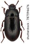 Alphitobius Diaperinus Is A...
