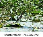 indian pond heron walking on... | Shutterstock . vector #787637392