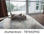 Close Up Of Cute Persian Kitten ...
