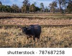 flocks of buffalo in the... | Shutterstock . vector #787687258