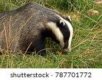 badger  meles meles  feeding.... | Shutterstock . vector #787701772
