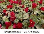 qatar flowers red | Shutterstock . vector #787755022