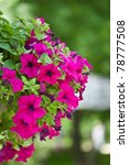 Beautiful Petunia Flowers On A...