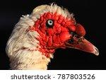 Small photo of Muscovy Duck Makou