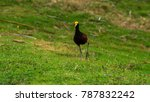 jacana  beautiful aquatic bird... | Shutterstock . vector #787832242