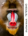 portrait close up mandril | Shutterstock . vector #787850845