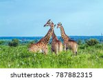 giraffe in kruger national park ... | Shutterstock . vector #787882315