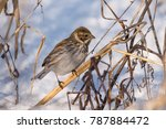 common reed bunting in winter... | Shutterstock . vector #787884472