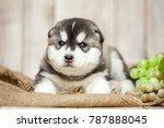 Stock photo siberian husky puppies 787888045