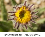 Small photo of macro image of Hulsea algida or Alpine gold yellow wildflower bud opening up