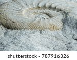 A Fossilized Ammonite In A...