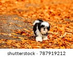 Shih Tzu Puppy Playing In The...