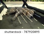 beige dog resting in the shade... | Shutterstock . vector #787920895