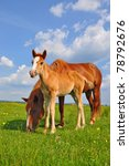 Foal With A Mare On A Summer...