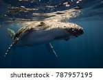 Humpback Whales In The Blue...