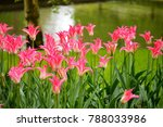 close up pink tulips in a...   Shutterstock . vector #788033986