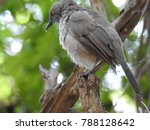 Arrow Marked Babbler Perched I...