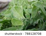 Ice Plant  Crystalline Ice...