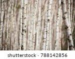 Birch Autumn Forest. Betula...