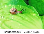 Little Snail Crawling On Green...