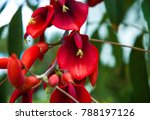Coral Tree  Erythrina  Flowers