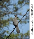 Small photo of Go away bird perched on a tree branch.