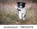 Running Border Collie Puppy In...