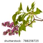 blooming lilac flowers.... | Shutterstock . vector #788258725