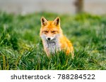 portrait of young little red... | Shutterstock . vector #788284522