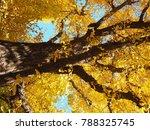 ginkgo leave tree in autumn... | Shutterstock . vector #788325745