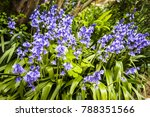 Spanish Bluebells In A Cluster...