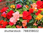 A Fine Display Of Begonias In ...