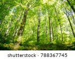 Tall Deciduous Trees In Forest...