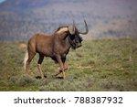 black wildebeest or white... | Shutterstock . vector #788387932