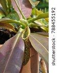 carnivorous plant sarracenia   Shutterstock . vector #788455192