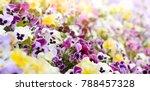 Spring Viola Flowers Field...