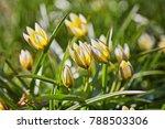 beautiful  yellow wild tulip in ...   Shutterstock . vector #788503306